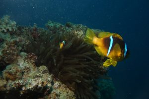 clownfish-1263679_960_720