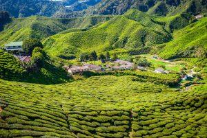 Cameron Highlands (Malaisie) © dinozzaver - Fotolia