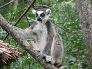 Lemur_Catta02