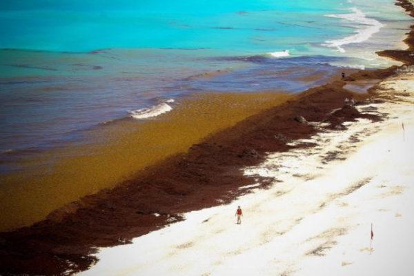 Informations sur les algues sargasses au Mexique