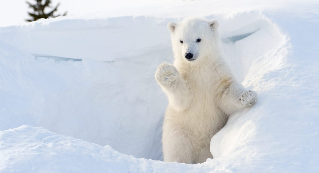 ours-blanc - Photo